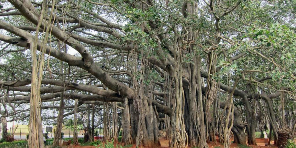 Places to visit near Bangalore within 100km-Dodda Alada mara