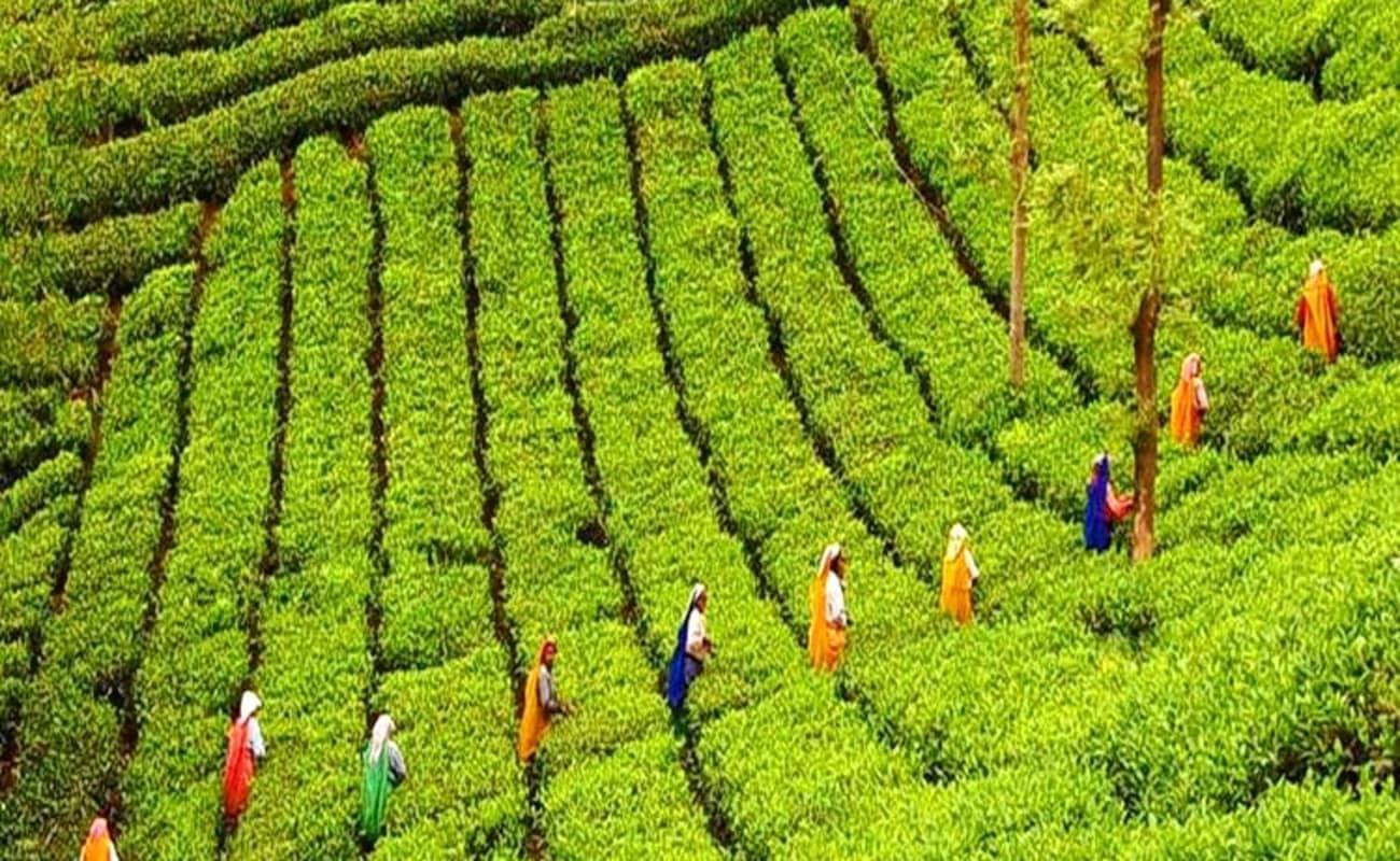 Tea Plantation Tour in Munnar