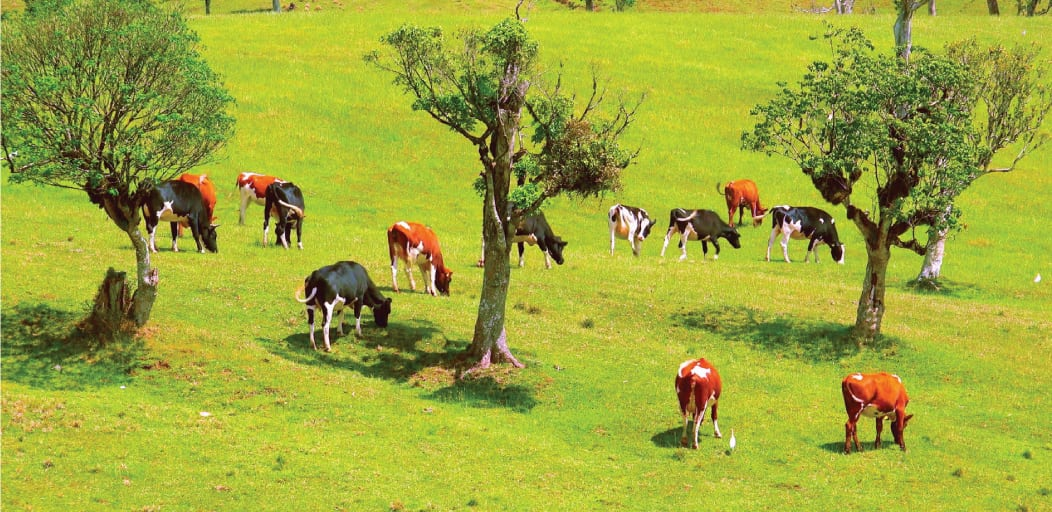 Places to visit in Wayanad in 2 Days - Cattle Farms