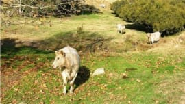 Birthplace of Murray Grey cattle breed for sale