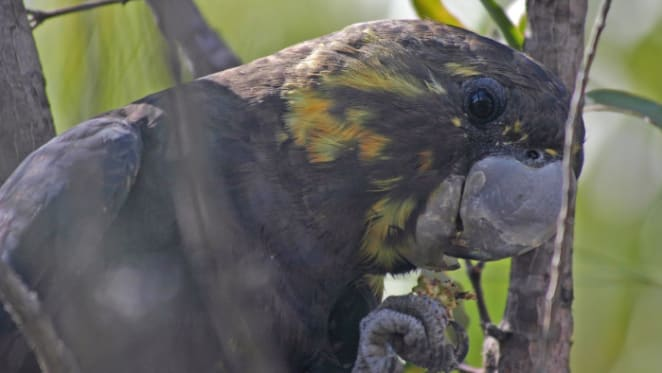 For the first time we've looked at every threatened bird in Australia side-by-side