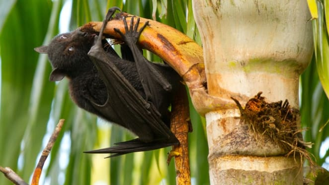 Not in my backyard? How to live alongside flying-foxes in urban Australia