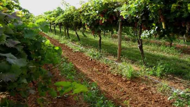 Grape harvest driving activity in Mildura, Sunraysia: HTW