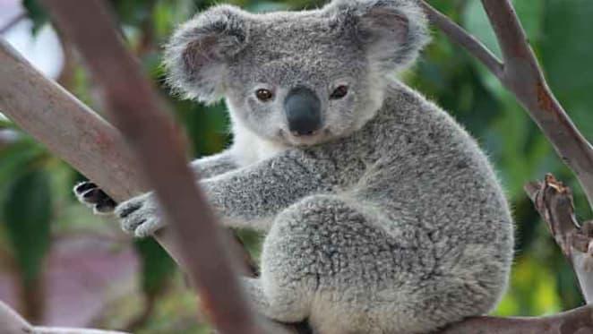 Safe passage: we can help save koalas through urban design