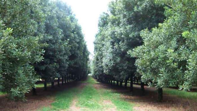 NSW north coast macadamia farms on expansionary push