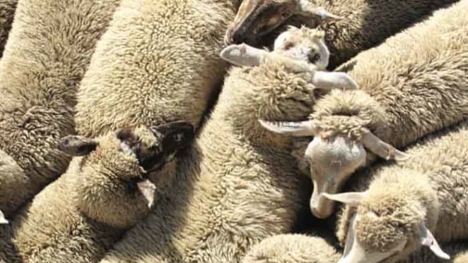 The Sheep's Back: ANZ's outlook on the Australian sheep industry
