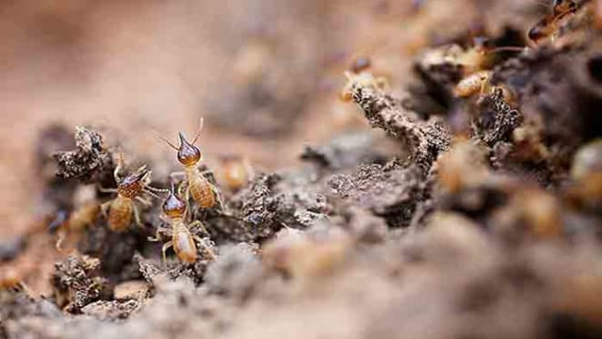 Hidden housemates: the termites that eat our homes