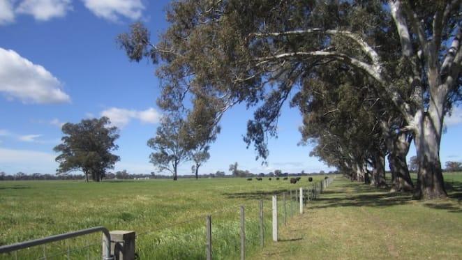 Inglebar-Woolpress beef cattle breeding near Ballina for sale