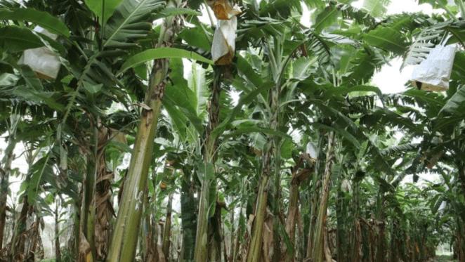 Cairns region sees the resurgence of the banana farm market: HTW Rural