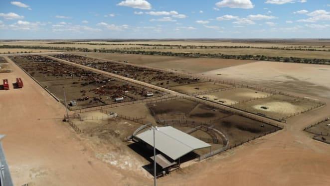 Modern Burakin beef cattle feedlot WestBeef listed