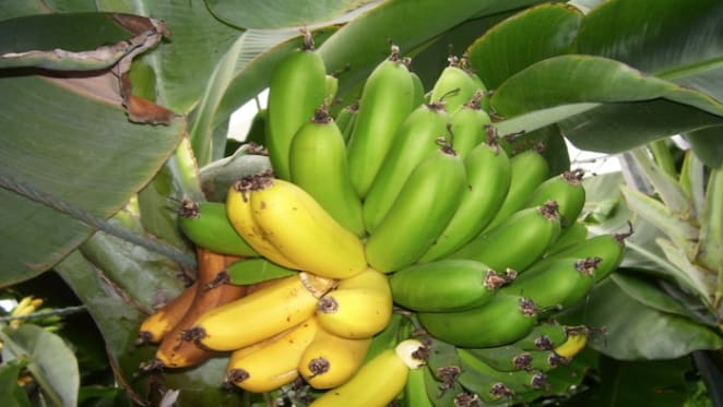 Support from banks for Panama disease affected banana growers