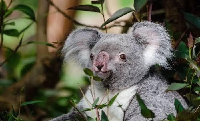 The Blinky Bill effect: when gum trees are cut down, where do the koalas go?