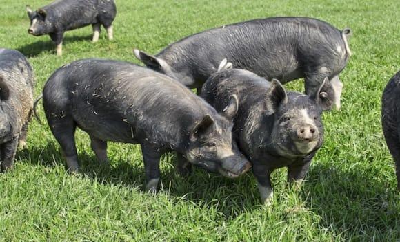 Free range pork farm in Victoria's Greta West listed with