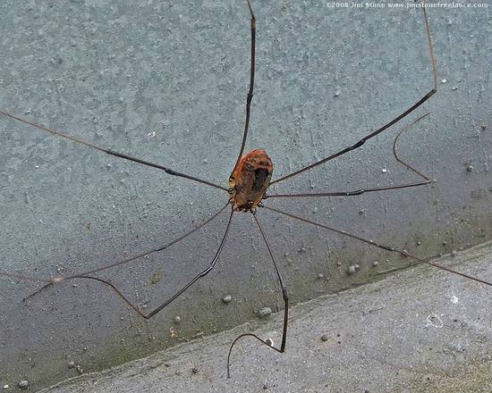 spermophora_senoculata(2).jpg