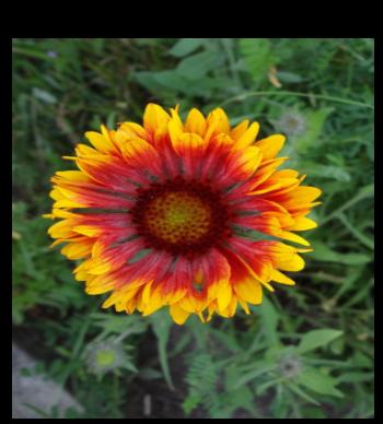 Sunflower Yellow Colour Flower Design
