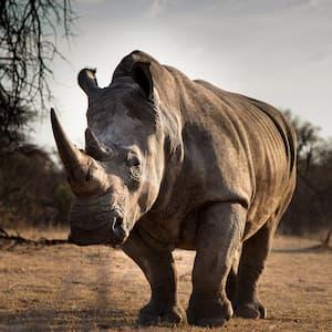 random rhino