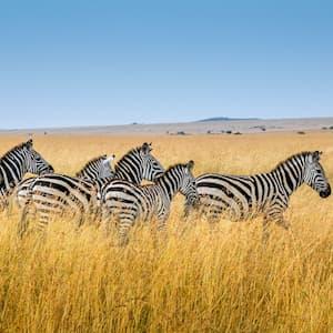 zebras in yellow grass