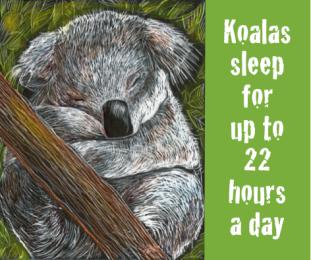 A koala asleep on a branch.