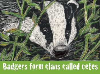 A badger in the undergrowth