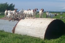 Cockerham Boers Farm