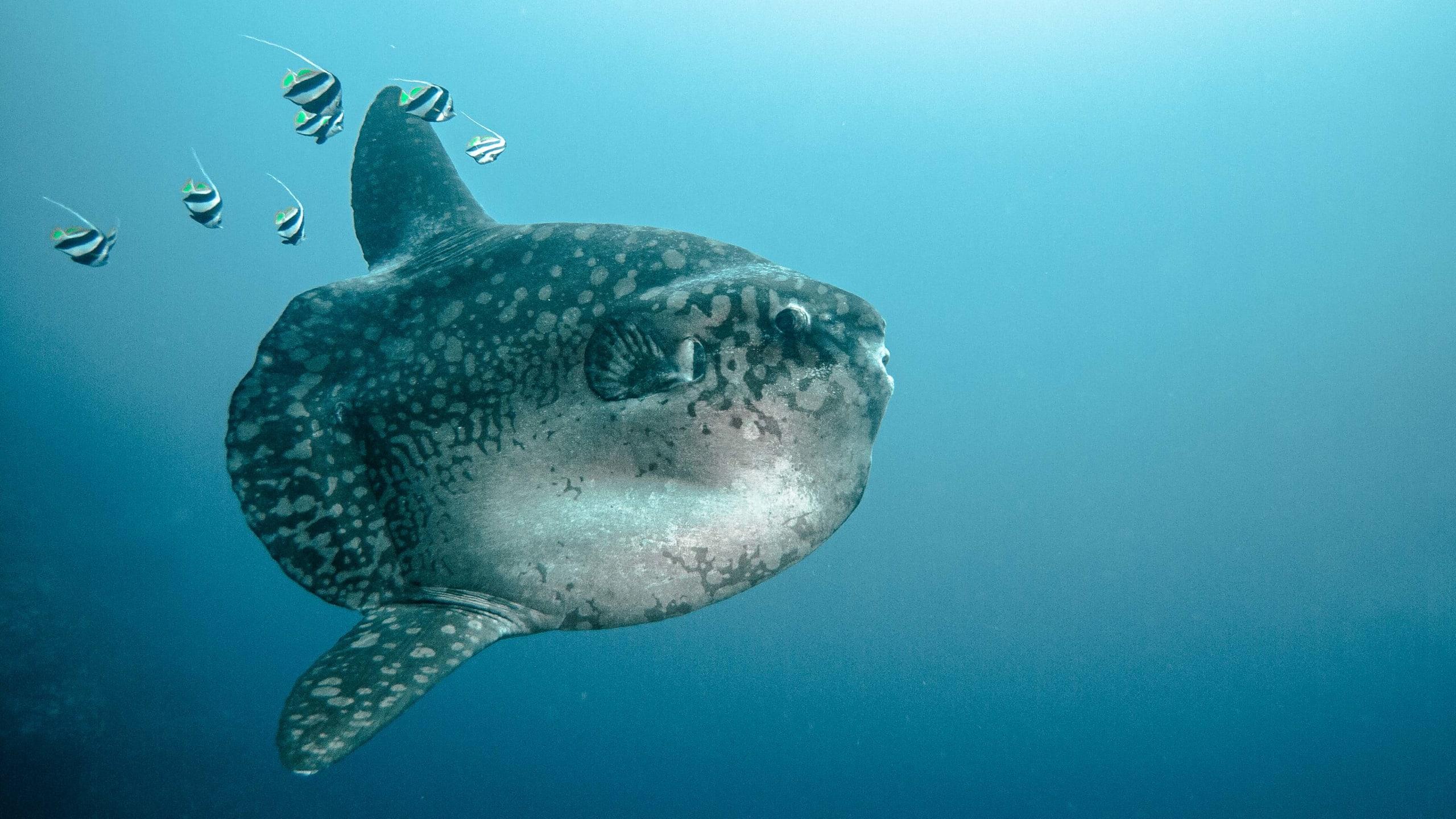 Sunfish - Penida Diving