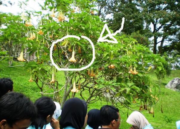 pohon kecubung Pohon Kecubung, Tanaman Liar Yang Sering Di Salahgunakan Untuk Mabuk