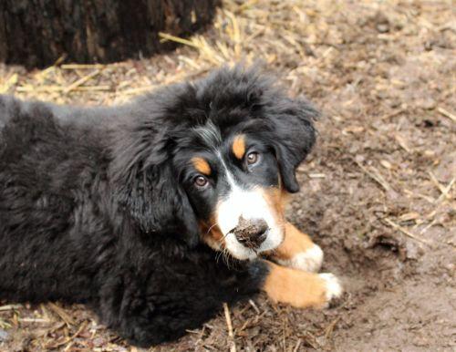 Bernese Mountain Dog Puppy Whining