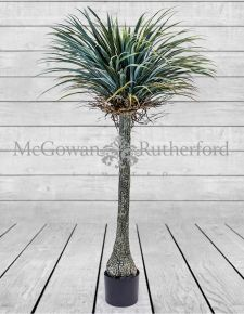 Ornamental Extra Large Yucca Tree in Black Pot
