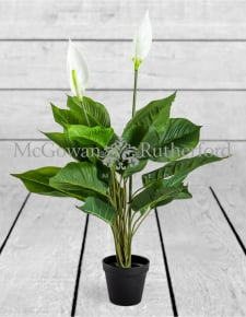 Ornamental Potted Peace Lily Plant