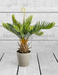 Ornamental Potted Cycad Plant (to be bought in qtys of 6)