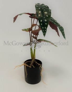Ornamental Potted Philo Leaf Plant