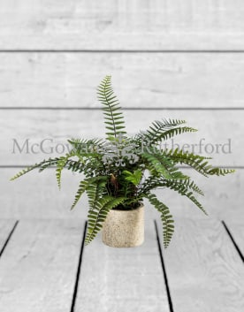 Ornamental Potted Fern Plant