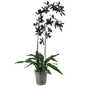 Coach House Burgundy Oncidium in Glass