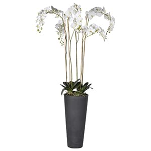 Coach House White Orchid Phalaenopsis Large Plants in Dark Grey Tall Planter