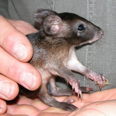Baby Gilby Potoroo