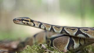 Snake venom vaccine?