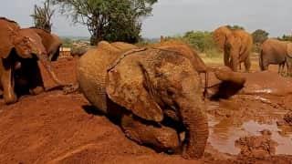 Watch: Baby elephant's mud bath wins internet