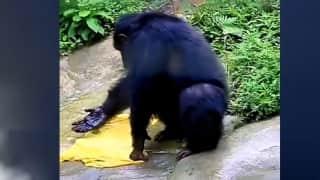 Viral video: चिंपैंजी ने धोए इंसानों की तरह कपड़े. वायरल हुआ वीडियो