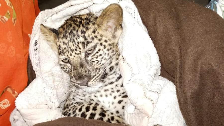 Watch: Leopard cub lost in rain rescued in Mumbai's Aarey