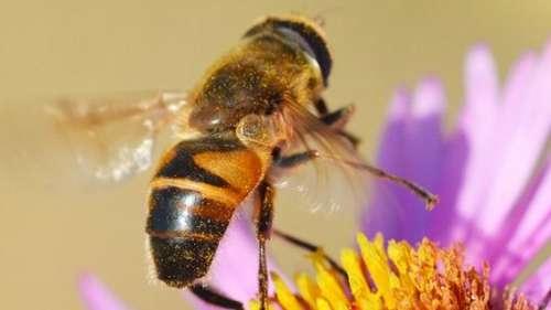 This honeybee clones itself