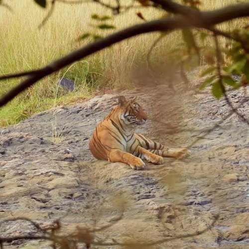 International Tiger Day 2021: पालना चाहते हैं बाघ? जानिये क्या कहता है देश का कानून?