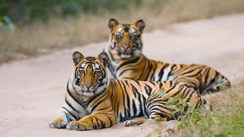 Tiger Reserves in India: देश के फेमस पार्क और रिजर्व जहां हो सकती है आपकी टाइगर से मुलाकात