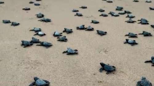 विशाखापट्टनम: समुद्र में छोड़े गए कछुओं के 350 से ज्यादा बच्चे