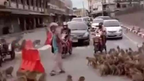 Watch: monkey mayhem on Thai streets as the primates fight over food