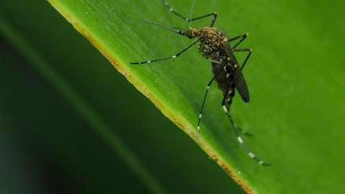 South African Mosquito in Kolkata: আফ্রিকান ঘাতক মশা এখন কলকাতায়! ঘুম ছুটেছে বিজ্ঞানীদের