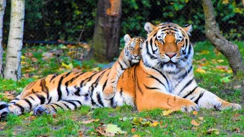 International Tiger Day 2021: With only 3900 tigers left in the wild, help save them now!