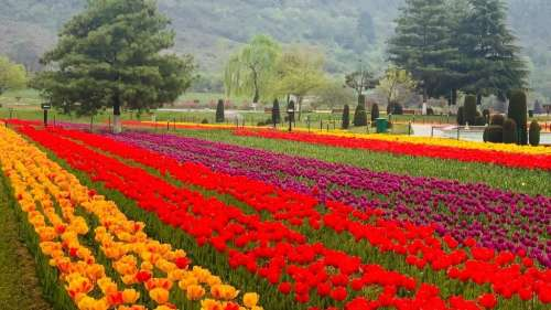 J&K: 'Asia's largest' tulip garden reopens for visitors