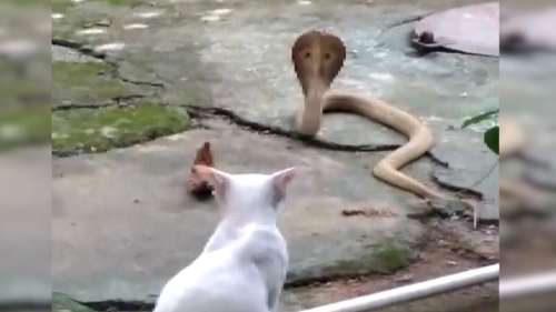 Pet cat stops cobra from entering house in Odisha. Watch viral video