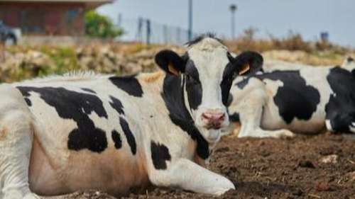 Potty-trained cows? MooLoos to help save the environment!