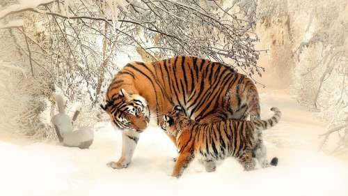 Decoding the rarest tigers in the world